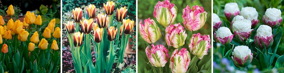 Купить тюльпаны