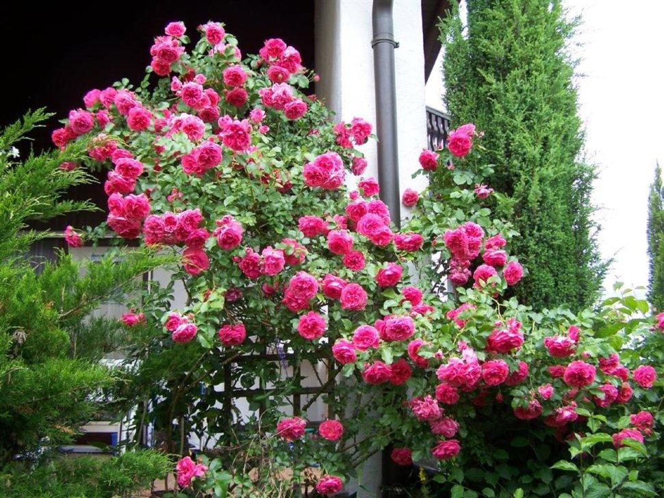 Плетистые розы лучшие сорта для юга фото