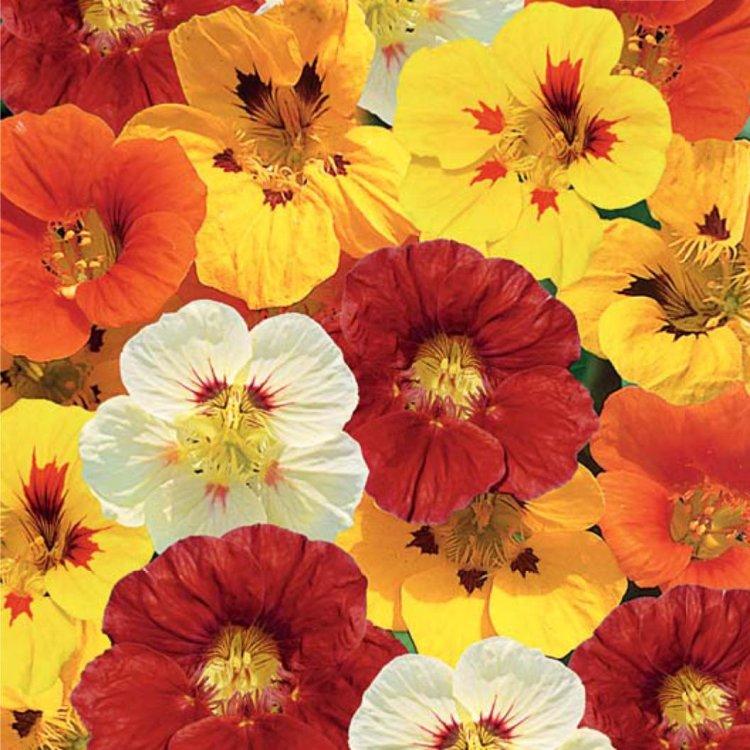 ответ цветы настурция фото махровая делала