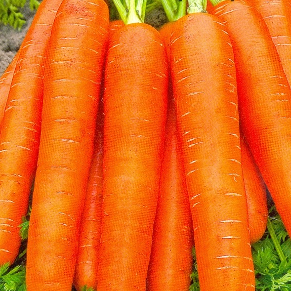 Картинка морковки красной