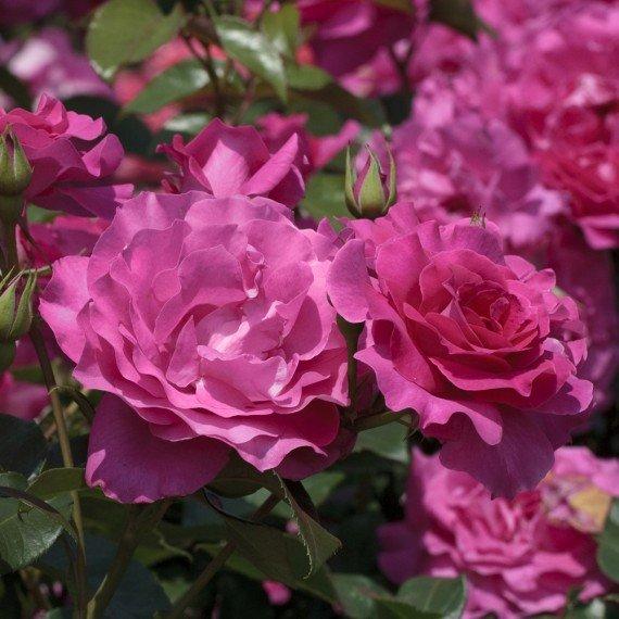 видно фото, розы мейяна фото плитка бывает разных