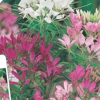 """Купить клеома цветные фонтаны по цене 52 руб. в интернет магазине """"Первые Семена"""""""