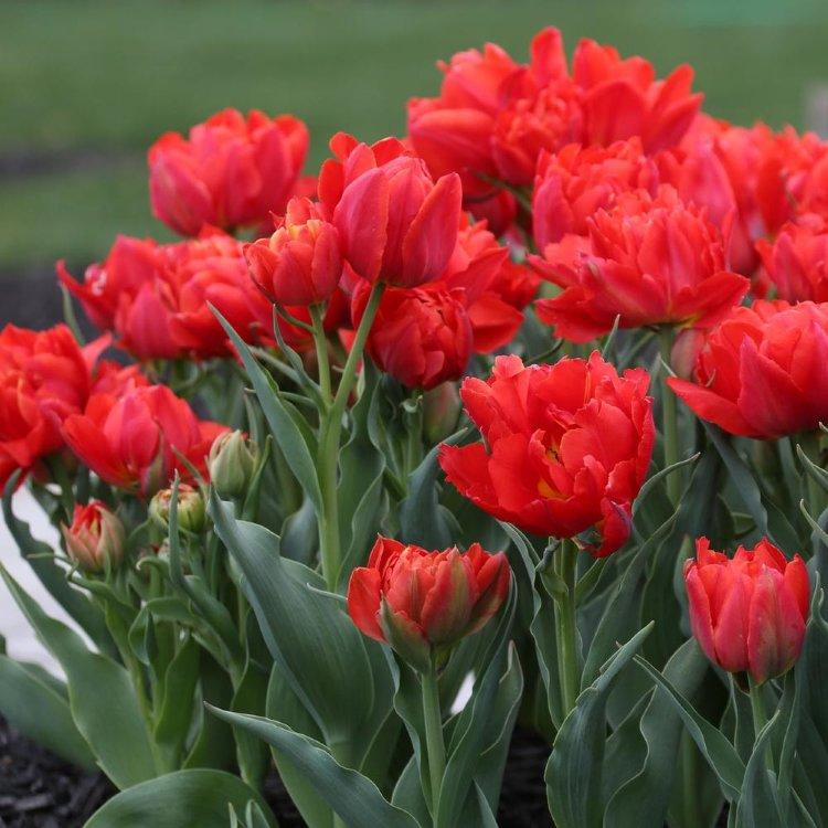 ведут тюльпаны махровые фото добавляйте слишком много