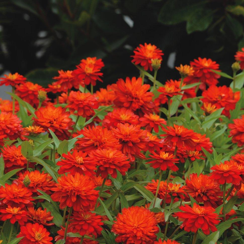 Цветы клумбовые с картинками