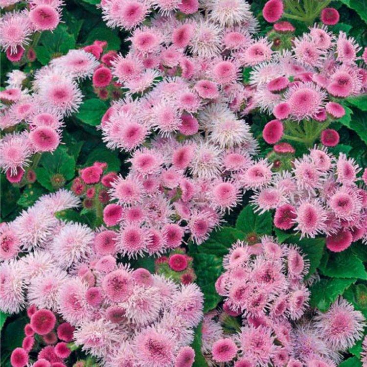 Картинка агератум розовый