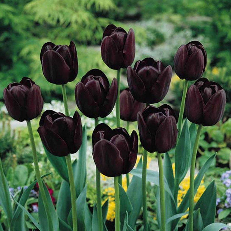 Открытки черные тюльпаны, открытки котята открытки