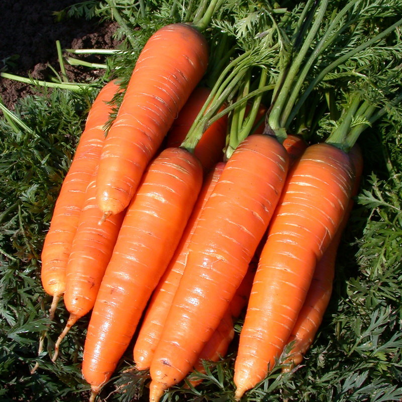 корнеплода моркови картинки пансионаты предлагают идиллический
