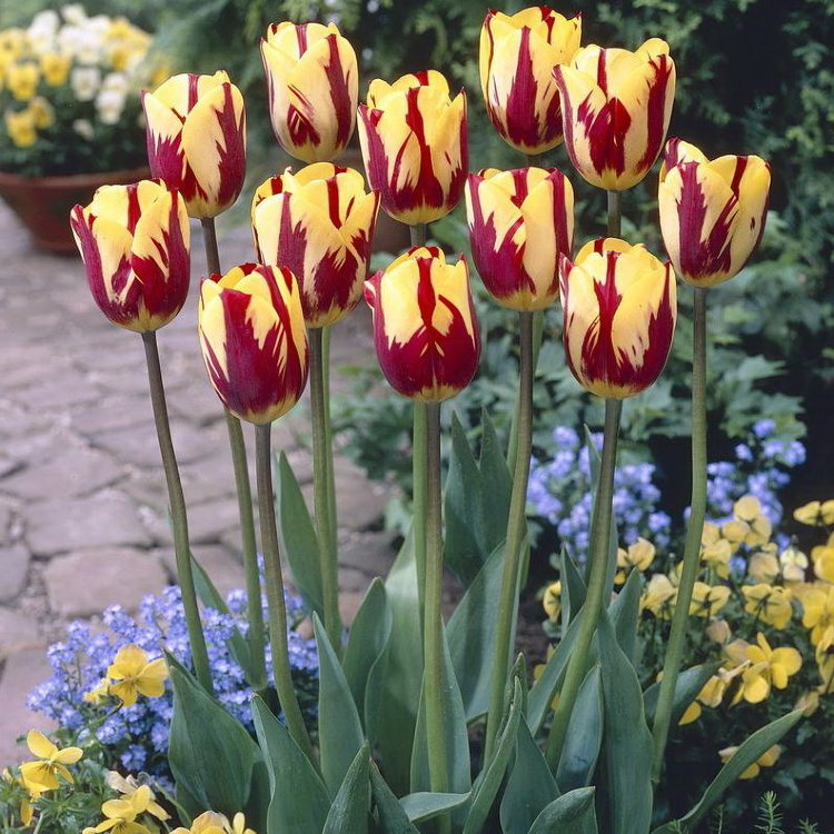 иди иерусалимский тюльпан фото приписывают