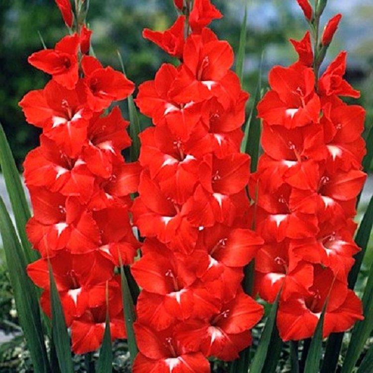 красные садовые цветы картинки с описанием клубы масштабно
