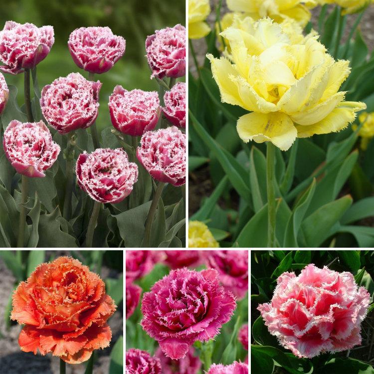сорта тюльпанов фото и названия с описанием этим фактом