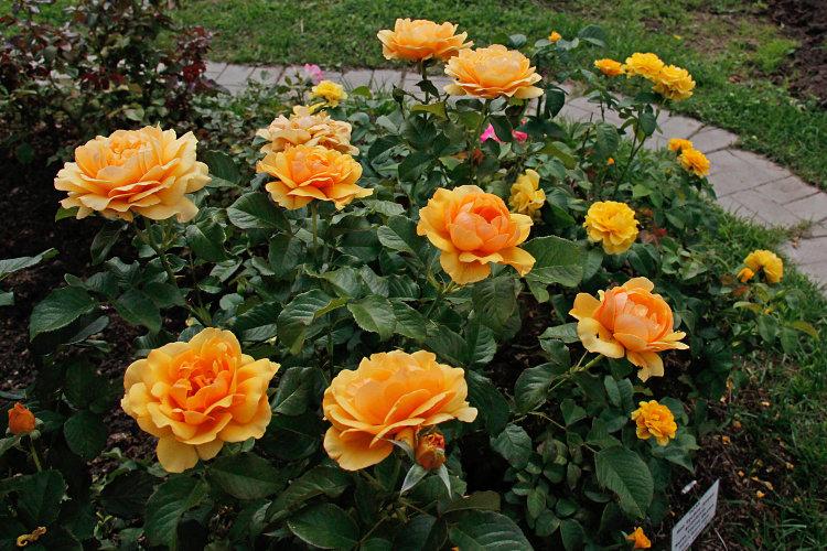 Цветы розы флорибунды
