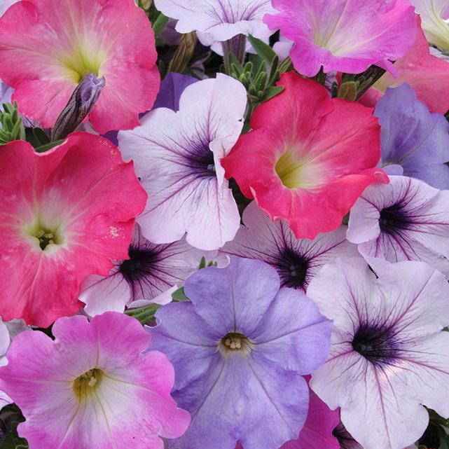 Букет цветы петунья купить в вао цветы рязани дешево