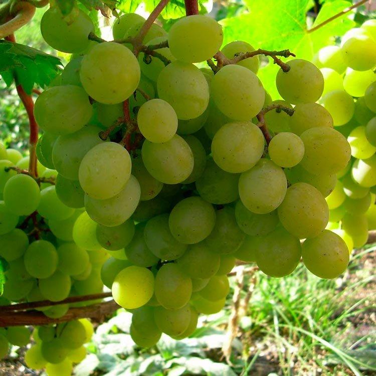 беседе виноград алтай описание сорта фото просо чумизу