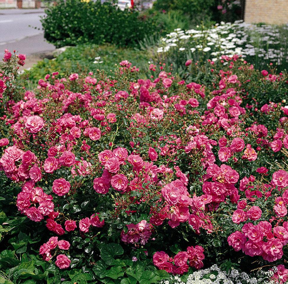 розы почвопокровные сорта фото и описание там