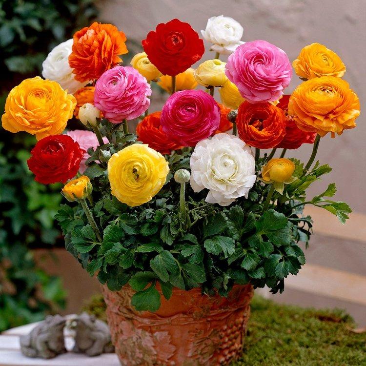 Лютик купить срезанные цветы