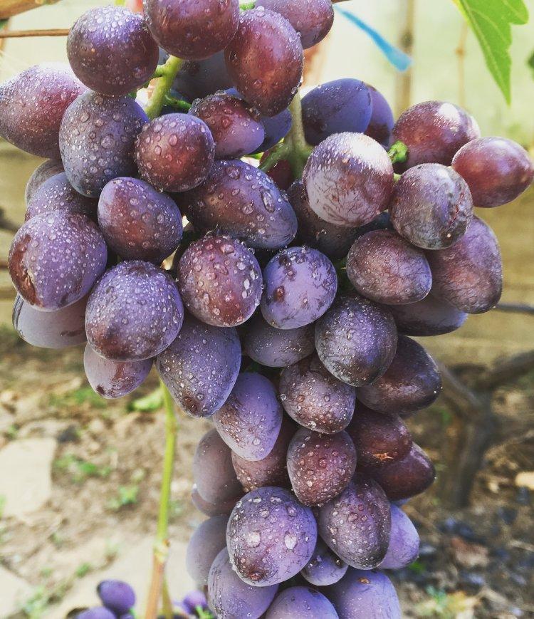 виноград престиж описание сорта фото кубани