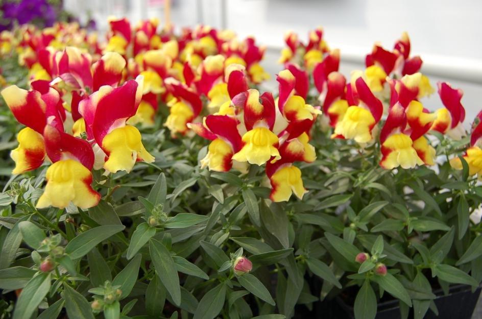 Цветы киевского, купить цветы львиный зев на рассада