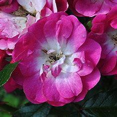 """Купить роза дегенхарт (degenhart) по цене 165 руб. в интернет магазине """"Первые Семена"""""""