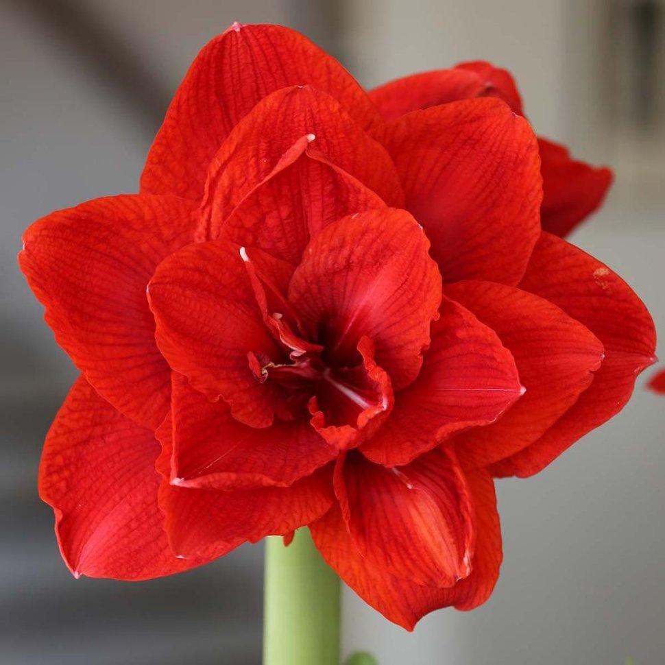 Цветы амариллис купить москва, свадебные