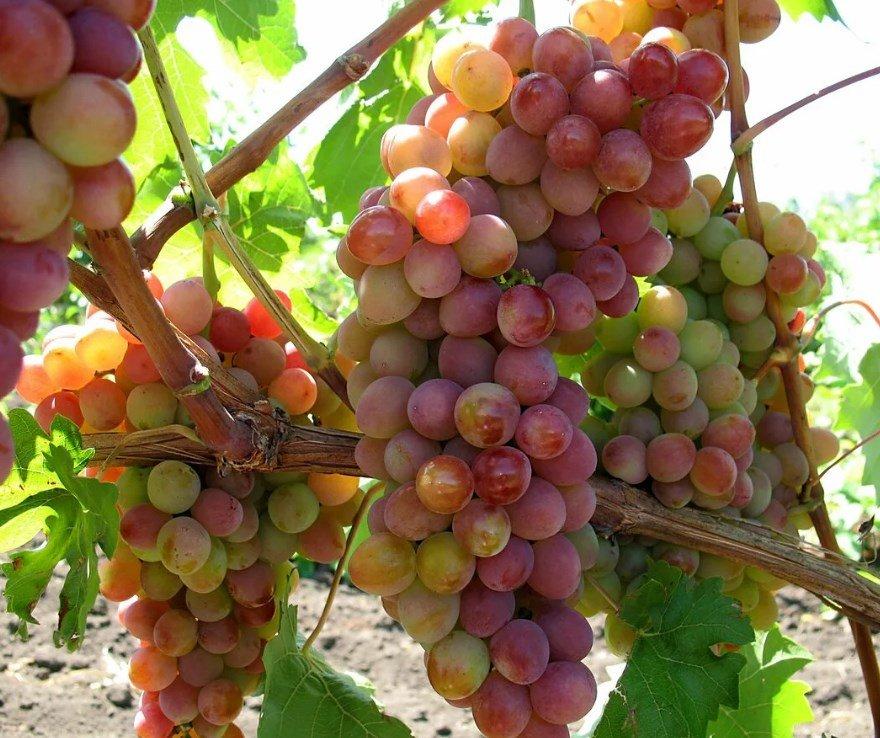Виноград престиж описание сорта фото