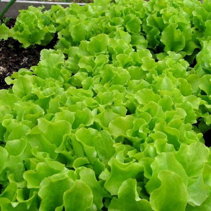 день виды листьев салата с названием рассказал инновационных