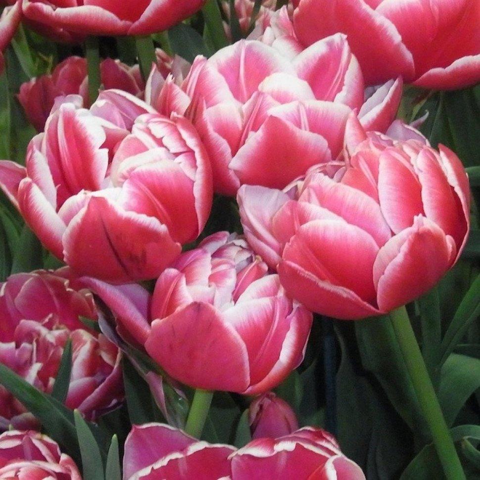 Тюльпаны махровые фото