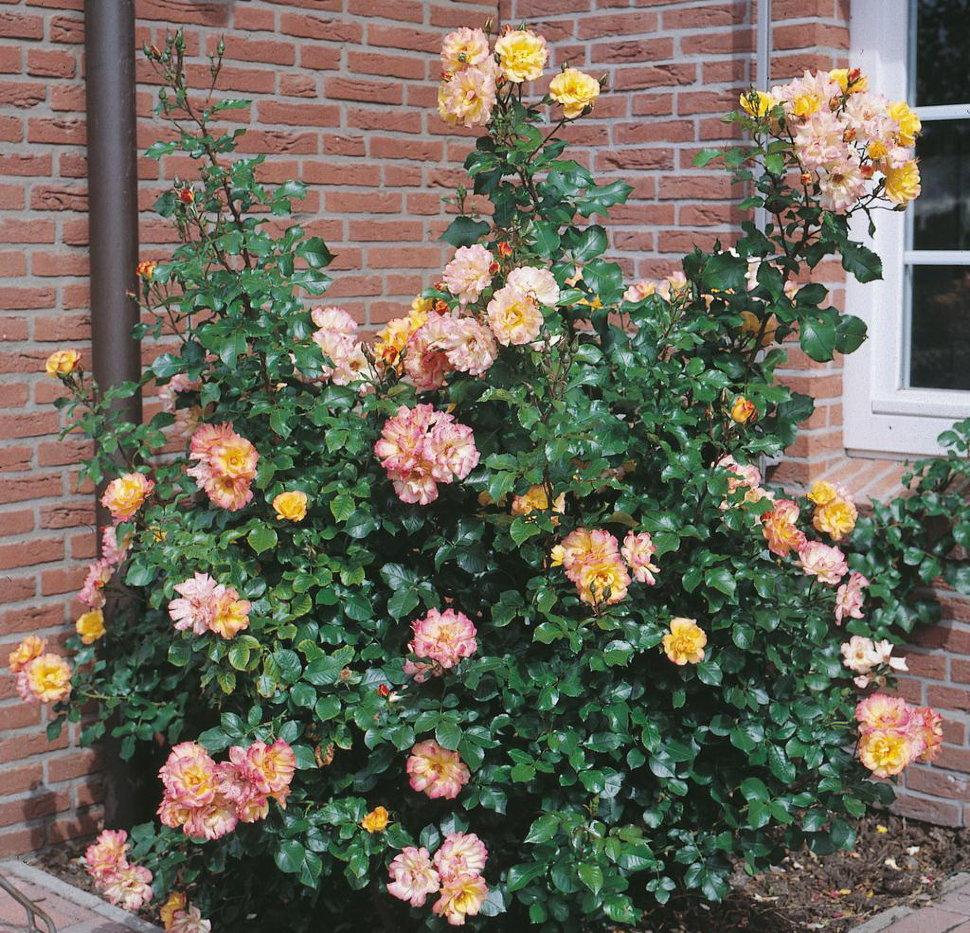 роза бонанза фото отзывы семнадцать лет переезжает