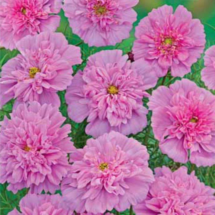 Космея махровая роуз бонбон фото отзывы