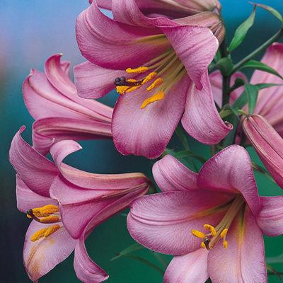 пинк перфекшн лилия фото